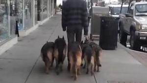 Han gik med 5 fårehunde uden snor; se hvor langt han kom