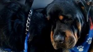 Rottweileren så, at dens bror var død. Hvad gjorde den? Jeg blev rørt til tårer