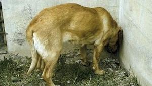 Du må ikke slå det hen, hvis din hund begynder at opføre sig på denne måde; tag