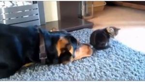 Den hund ville så gerne være ven med katten, at...  du triller om af grin!