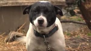 Denne stakkels hund tilbragte hele sit liv i en lænke, indtil der en dag skete n