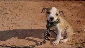 Siden den blev født har denne pitbull kun mødt ondskab. Da den blev sat fri fra