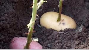 Hun anbragte en rosenstilk i en kartoffel, og gravede den ned. Det, der voksede