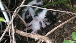 Hun fandt 3 små katte, der sad under en busk. Da hun kiggede nærmere efter, så h