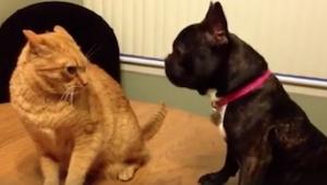 Katte mod hunde. Denne kamp vil du ikke misse! Om tre sekunder skraldgriner du!