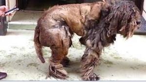 Efter at have været forsømt i mange år, havde denne hund en så stort og vilter p