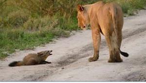 Hvad denne løvinde gjorde, da hun så en såret ræv er simpelthen ufatteligt!