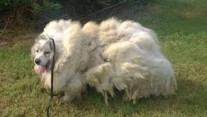 Bag døren i laden fandt de en skræmt hund, men da de havde barberet 15 kg pels a