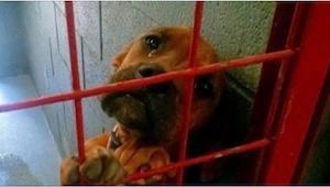 Denne tævehund skulle have været aflivet, men så offentliggjorde frivillige fra