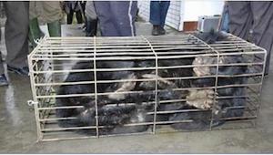 I flere år havde bjørnen været spærret inde i et smalt metalbur. Da de frivillig