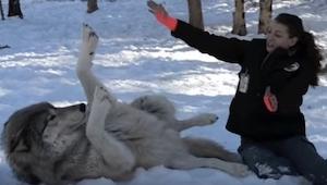 Kvinden sætter sig på hug ved siden af en voksen ulv, et øjeblik senere sker der