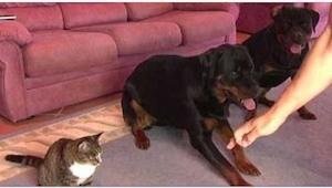 To hunde sidder ved siden af hinanden, men koncentrer opmærksomheden på katten.