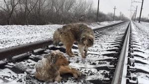Disse hunde lå på sporene, og da toget kom frygtede jeg det værste ... Se denne