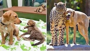20 billeder af dyr, som er vokset op sammen, og... alt er uændret, på trods af a
