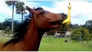 Hesten fik som gave en gummi and – dens reaktion I 0:17 er så fjollet at jeg sim