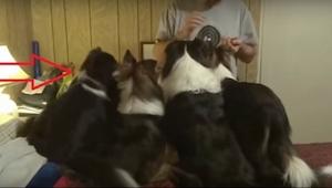 Prøv at se på den første hund fra venstre; det, den foretager sig, er højdepunkt