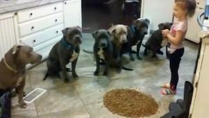 Da den 4-årige hælder en spand med mad ud foran 6 pitbulls, regnede vi med at de