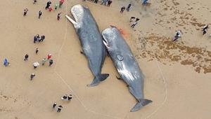 Det er svært at acceptere, hvad forskerne fandt i maven på disse hvaler. Chokere