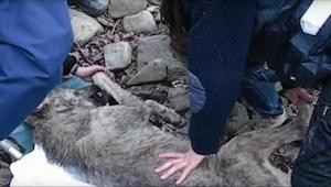 Da redningsfolkene fandt ulven, havde den ikke meget tid tilbage. Det værste var