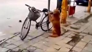 Hunden passer på sin ejers cykel. Vent til du ser hvad der sker 45 sekunder inde