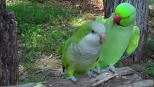 To papegøjer sidder på en pind, og pludselig
