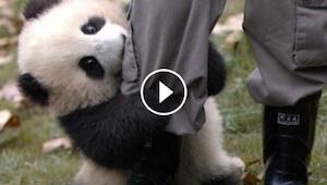Det er som om at pandaen prøver at få opmærksomhed ved at være så charmerende -