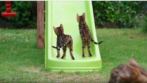 Bengal katte leger på en rutsjebane… Hvad de gør er så sødt!
