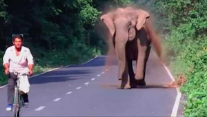 Elefanten jagtede cyklisten, men vent til du ser hvorfor - fantastisk!