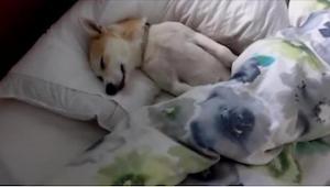 Hunden var så ked af at skulle til dyrlægen, at den lod som om den sov. Dens eje