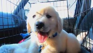 Et års forvandlinger hos en Golden Retriever - fra hvalp til en ung hund. Se det