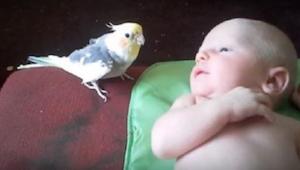 Papegøjen træder varsomt hen til den nyfødte - det han så gør er dejligt!