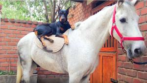 Denne Dobermann og hest er bedste venner! Du bliver nødt til at se selv :)