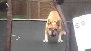 Manden hjalp sin bulldog på på en trampolin. Et øjeblik senere? Perfekt!