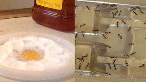 Aldrig mere kakerlakker, lopper eller myrer derhjemme. Denne ene enkle ingredien