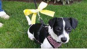 Se hvad du skal gøre når du ser en hund med en gul sløjfe eller nærmere… IKKE sk