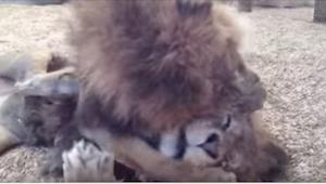 Disse to løver blev behandlet dårligt i cirkus. Da de endelig blev sat fri, havd