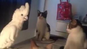 Papegøjen tror at den er en kat, og kattene ved ikke hvad de skal tænke… Vi kan