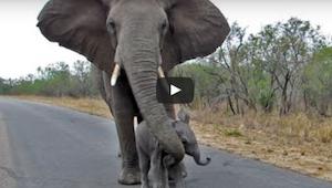 Mor beskytter sin baby elefant, der vil hilse på folk – er det ikke sødt!