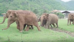 Elefanterne løber pludselig frem for at hilse på nogen – med sådan en fart, at d