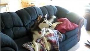 Denne Husky er besat af at se TV. Se hvad der sker når den ejer beder den om at