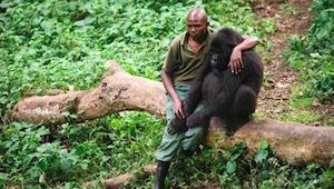 Medarbejderen i naturparken nærmer sig den nedtrykte gorilla, som har mistet sin