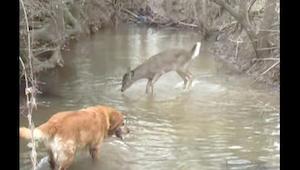 Rådyret så en hund, og begyndte at hoppe og springe; da jeg forstod hvorfor, ble