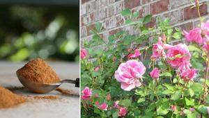 Enhver gartner bør kende disse måder at anvende kanel på!
