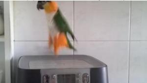 Ejerne optog deres papegøje, fordi ingen ville tro på, hvad hun gjorde!