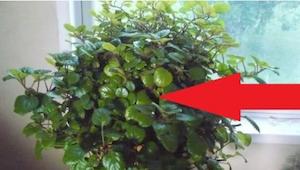 Denne plante vil lade dig trække vejret med lethed igen! Måske har du den allere