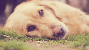 En ny måde at forgifte hunde på har allerede dræbt fire kæledyr. Lær at genkende