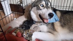 Katten hjælper den nervøse Husky. Du skal se denne fantastiske optagelse!