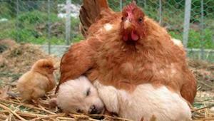 9 billeder der viser at høns er de bedste mødre i dyreriget