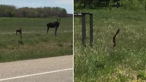 Da kvinden så på billedet, hun tog af en elg, løb hun straks til bilen