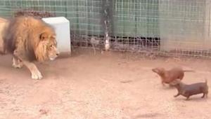 Løven sniger sig hen til gravhundene, som kom ind i dens anlæg. Denne optagelse